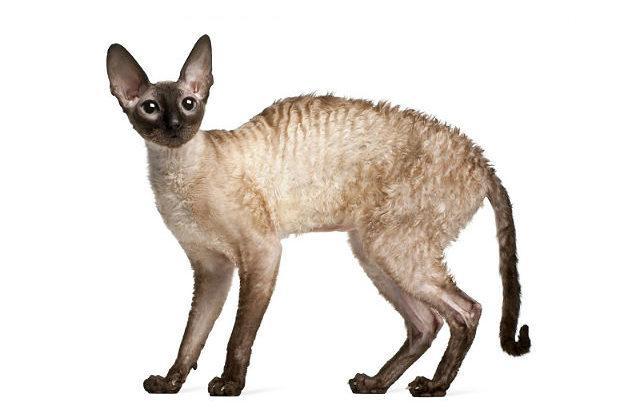 Кошка корниш-рекс - вид сбоку