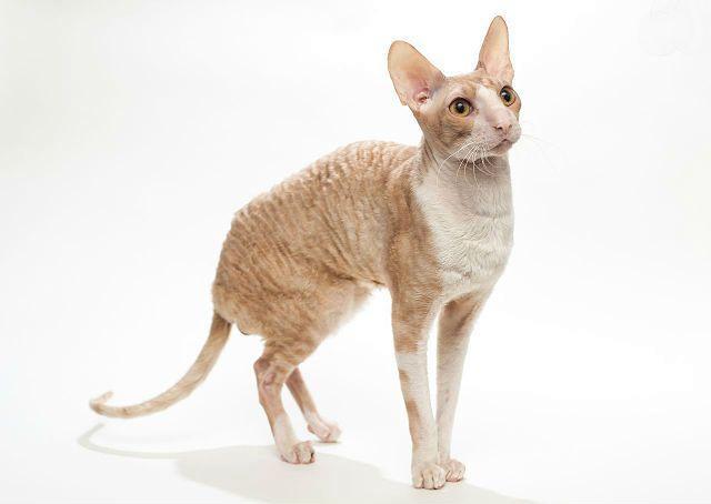 Кошка корниш-рекс - здоровье