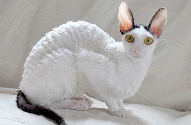 Кошка корниш-рекс сидит