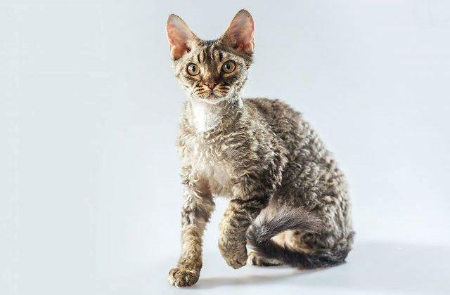 Кошка корниш-рекс серого окраса