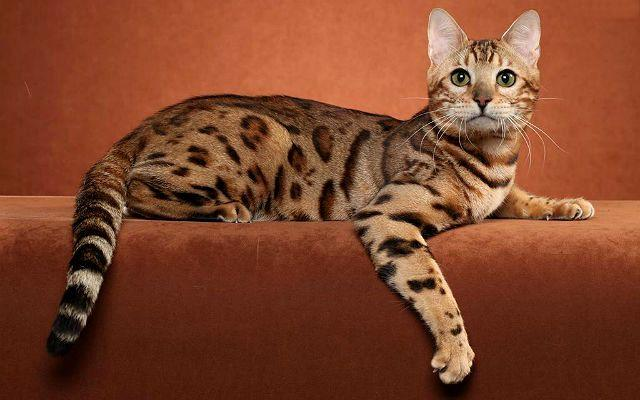Кошка оцикет - главное фото