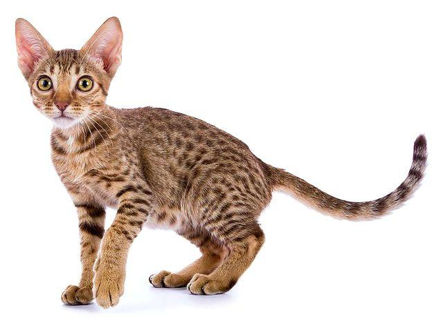 Котенок оцикет