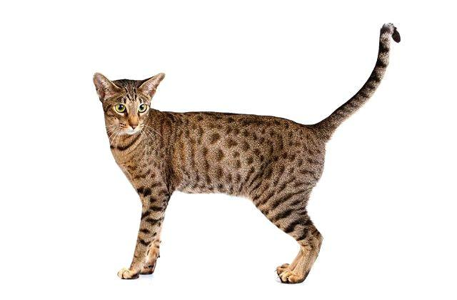 Кошка оцикет - экстерьер