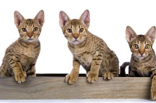 Котята оцикет