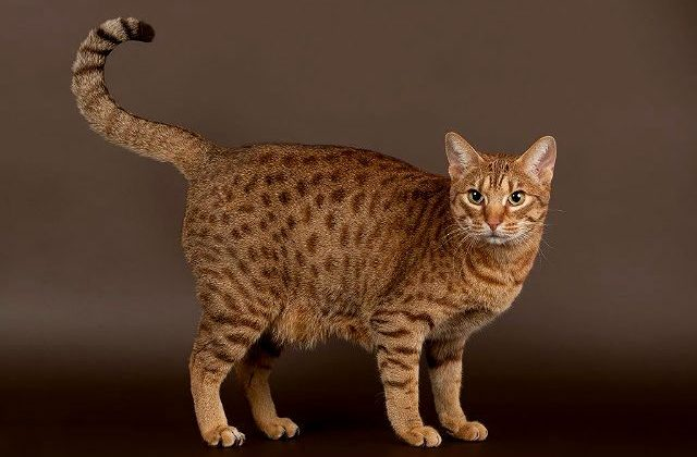 Кошка оцикет - вид сбоку
