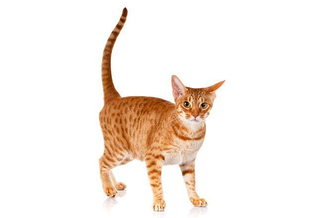 Кошка оцикет рыжего окраса