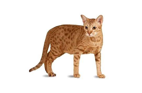 Рыжая кошка оцикет