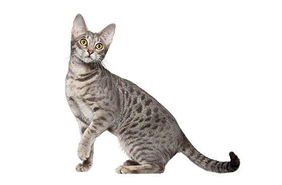 Кошка оцикет серого окраса