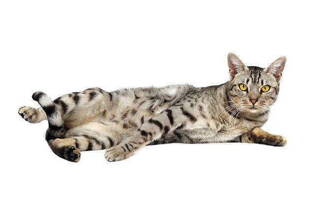 Кошка оцикет лежит