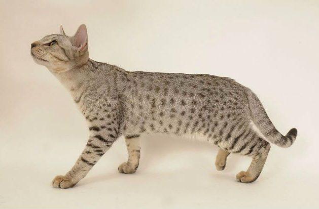 Кошка оцикет - серая с полосками