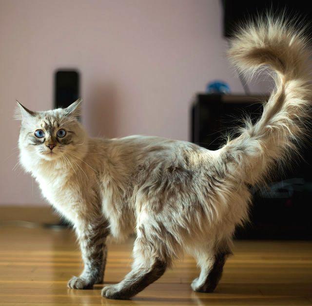 Симптомы течки у кошки