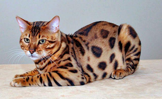 Кошка сафари - главное фото