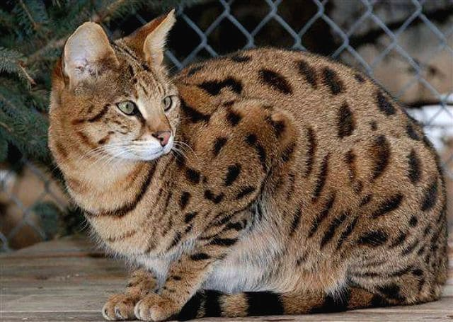 Кошка гибридной породы сафари