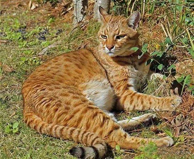 Кошка сафари на природе