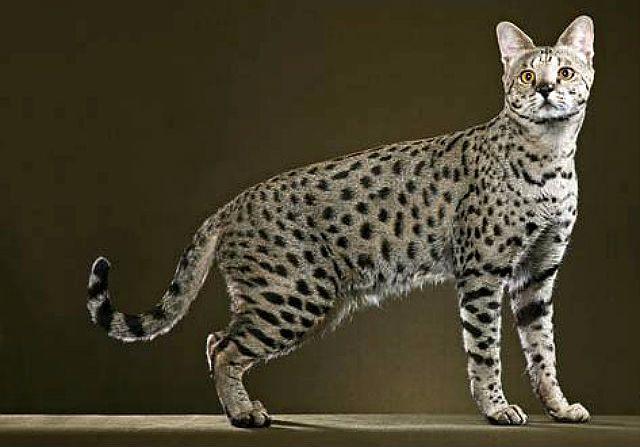 Кошка сафари - внешний вид