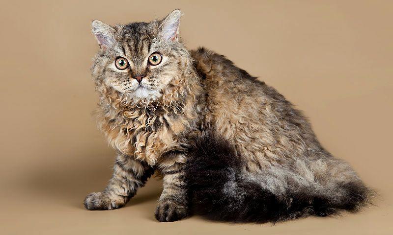 Кошка селкирк-рекс - главное фото