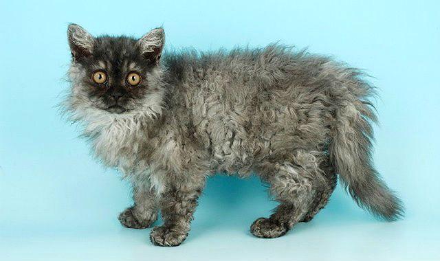 Кошка селкирк-рекс серого окраса
