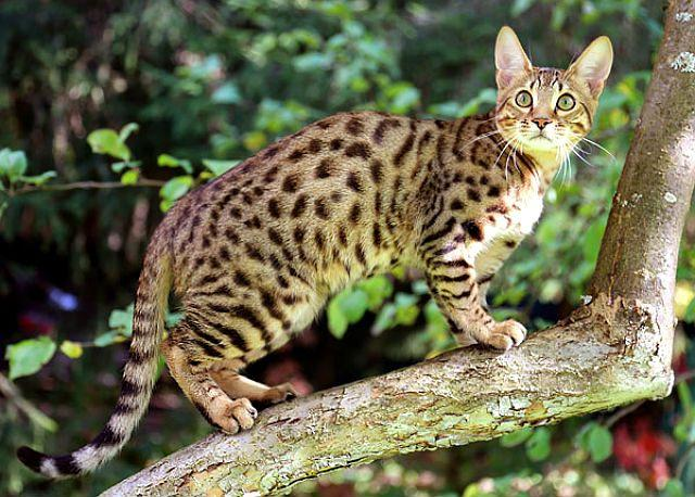 Кошка серенгети - главное фото
