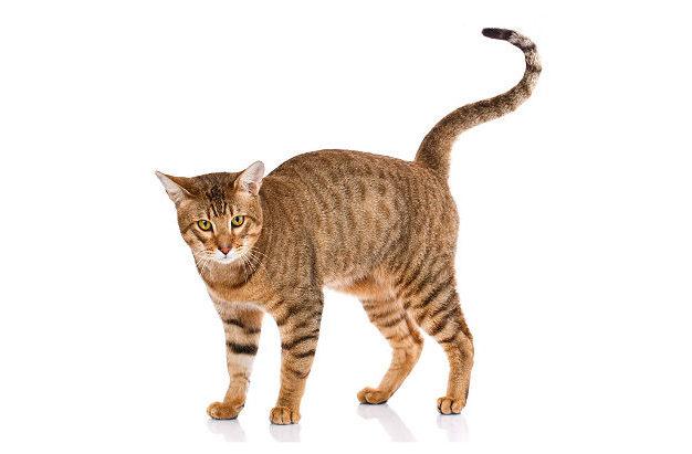 Кошка серенгети - вид сбоку