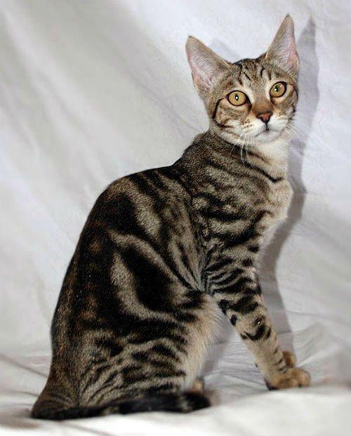 Кошка серенгети - здоровье