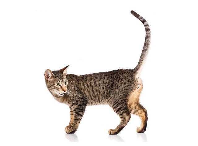 Кошка серенгети - внешний вид