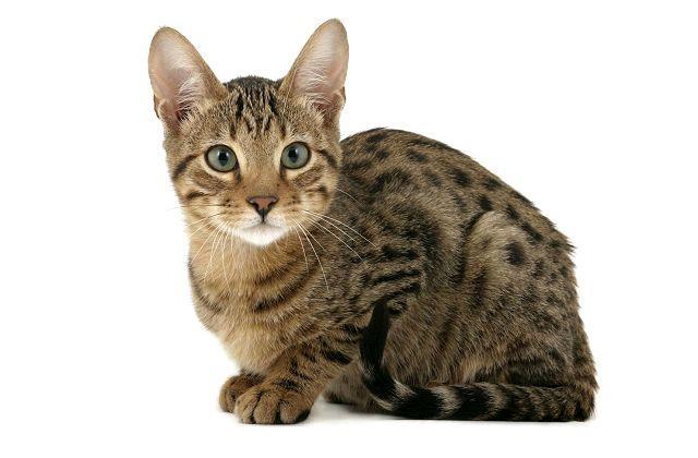 Котенок серенгети