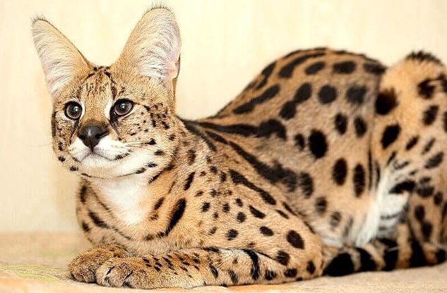 Сервал - пятнистая кошка