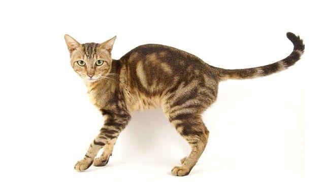 Кошка породы сококе