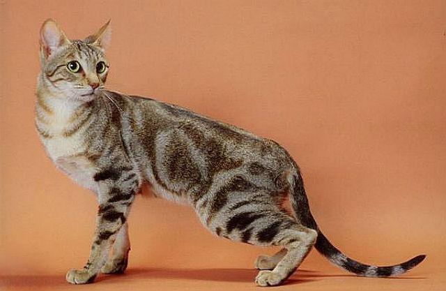 Кошка сококе - экстерьер