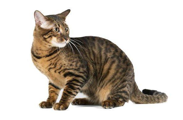 Крупная кошка тойгер