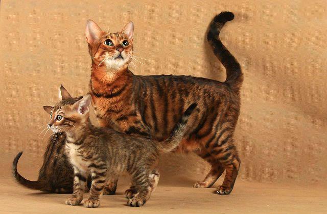 Кошка тойгер с котятами