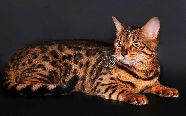 Кошка тойгер - внешний вид