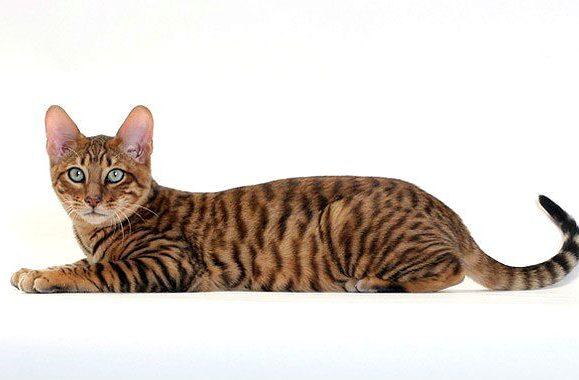 Кошка тойгер - вид сбоку