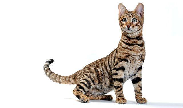 Кошка тойгер - здоровье