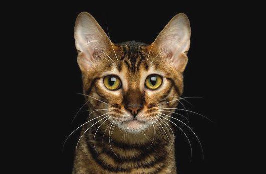 Кошка тойгер - морда