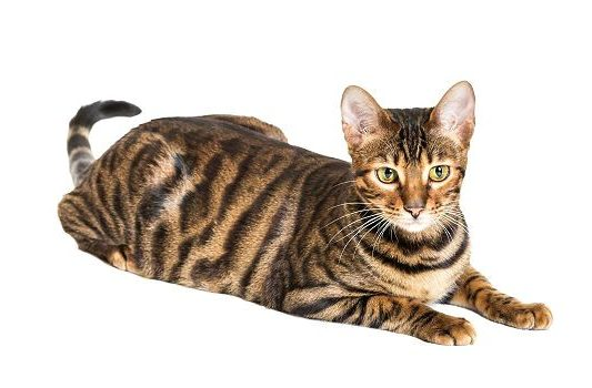 Полосатая кошка тойгер