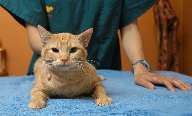 Кошку укусила оса - помощь ветеринара
