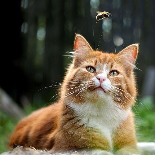 Кота укусила пчела