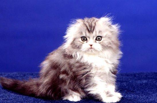 Котенок хайленд-фолд на синем фоне