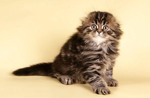 Полосатый котенок хайленд-фолд