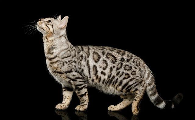 Курдюк у кошки - главное фото