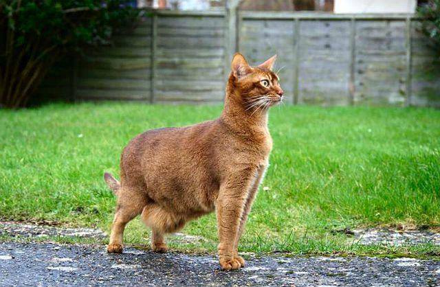 Кошка с обвислым животом