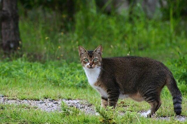Уличная кошка с курдюком