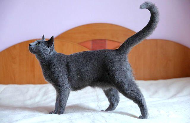 Кошка с курдюком на животе