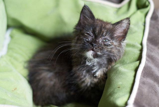 Загноившиеся глаза у котенка