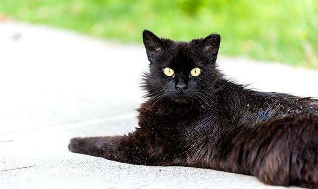 Перхоть у черной кошки