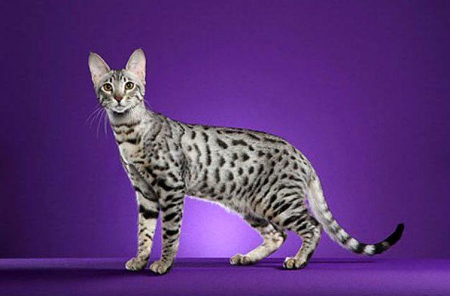Американская порода кошки серенгети