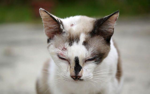 Поверхностные раны у кошки