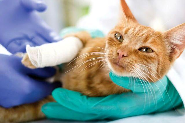 Рана у кошки - лечение