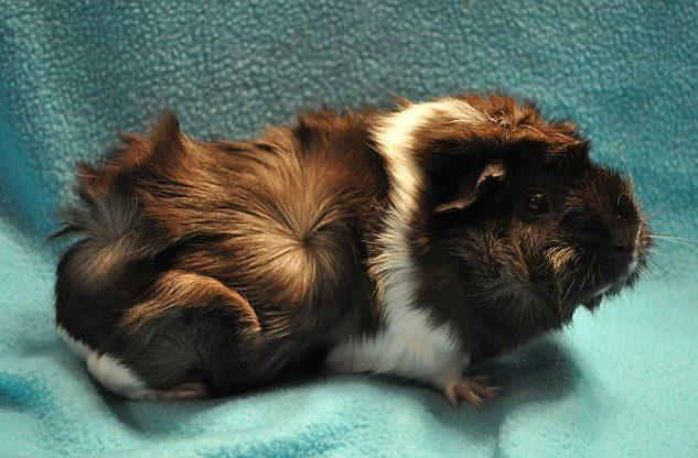 Розеточная морская свинка с коричневым окрасом